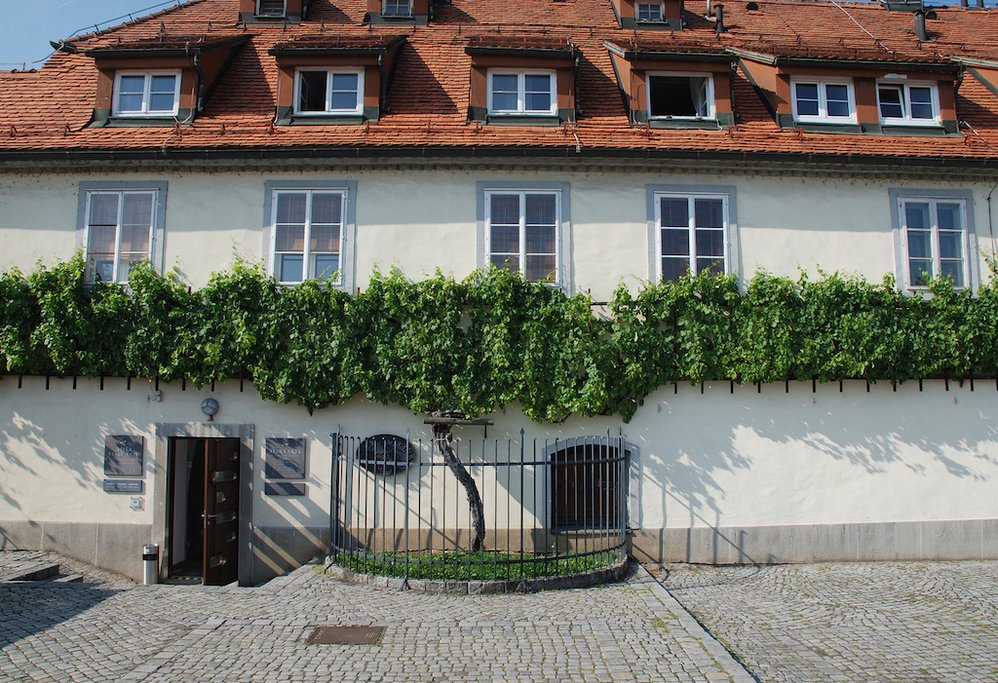 The Old Vine in Maribor