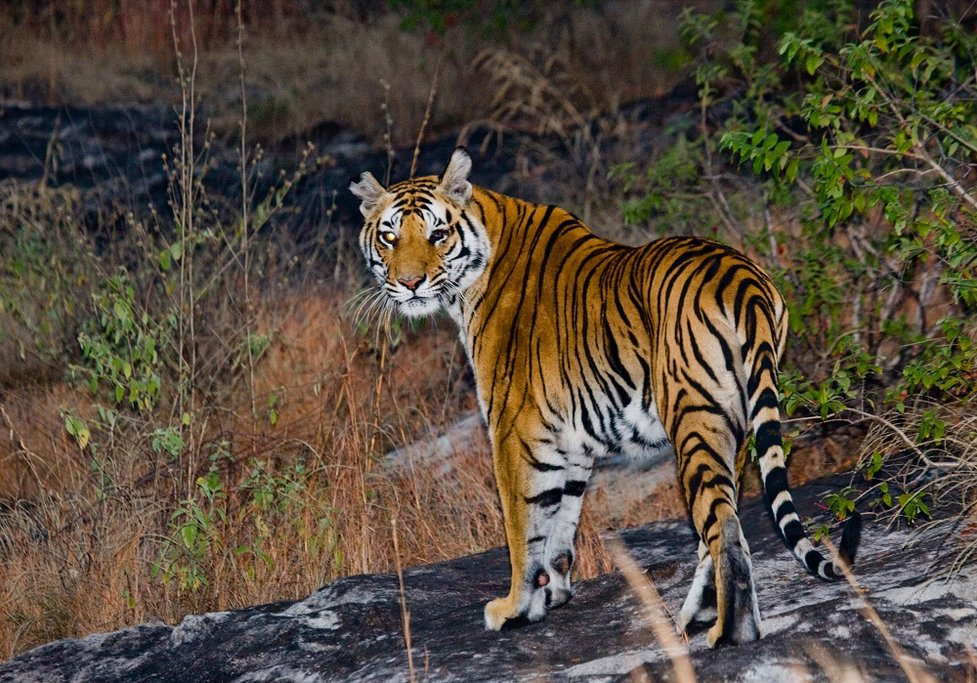 Although tigers are at the top of most visitor's viewing list, they are by no means alone in the park- many wonderful species calls these national parks home.