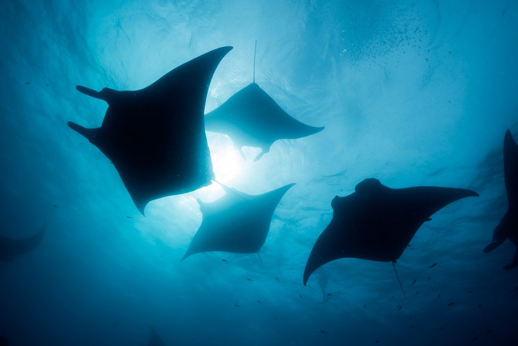 Manta rays make regular appearances near Ishigaki