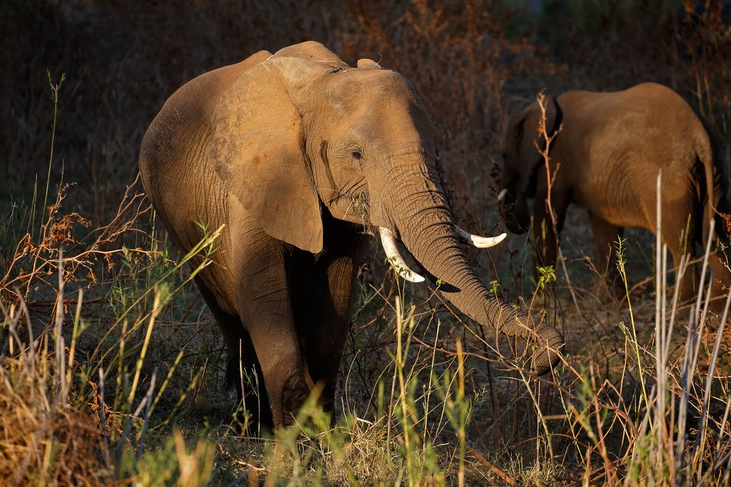 African elephants spotted on safari in Kruger Natl. Park