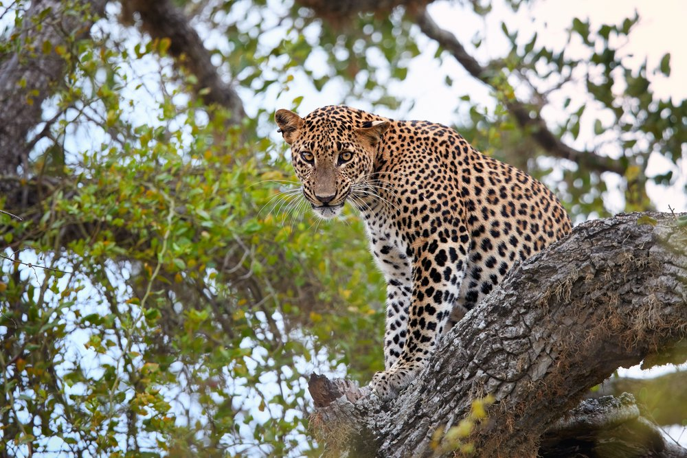 An elusive leopard peers out from the treetops