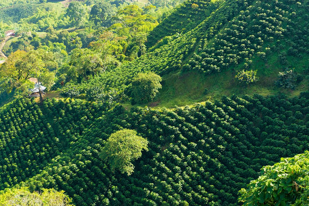 Coffee plantation near Manizales