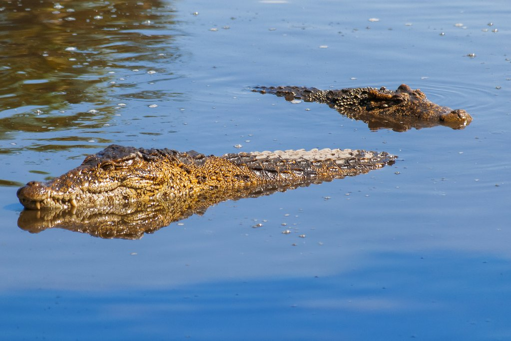 Cuban crocodiles, Parque Nacional Zapata