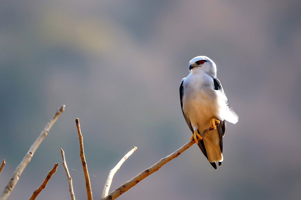 Black-winged kite (Elanus caeruleus) perched on branch in Ranthambore national park