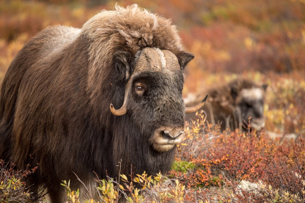 Muskox are common sightings in Rondane National Park.