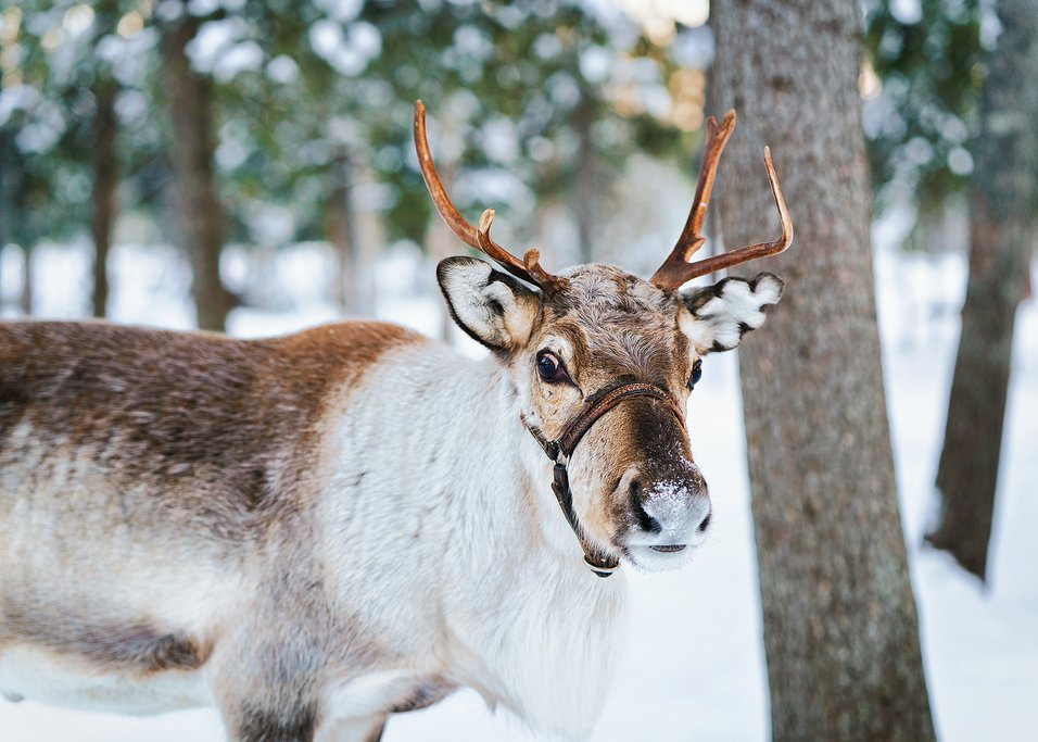 Spend time with reindeer on this overnight excursion.