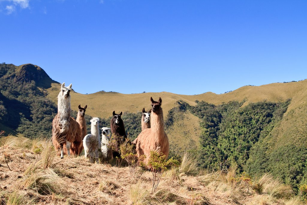 Llamas congregating on the slopes of Pasochoa, an extint vocano.