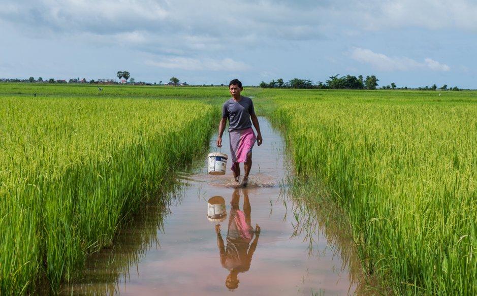 A farmer walks through the rice paddies