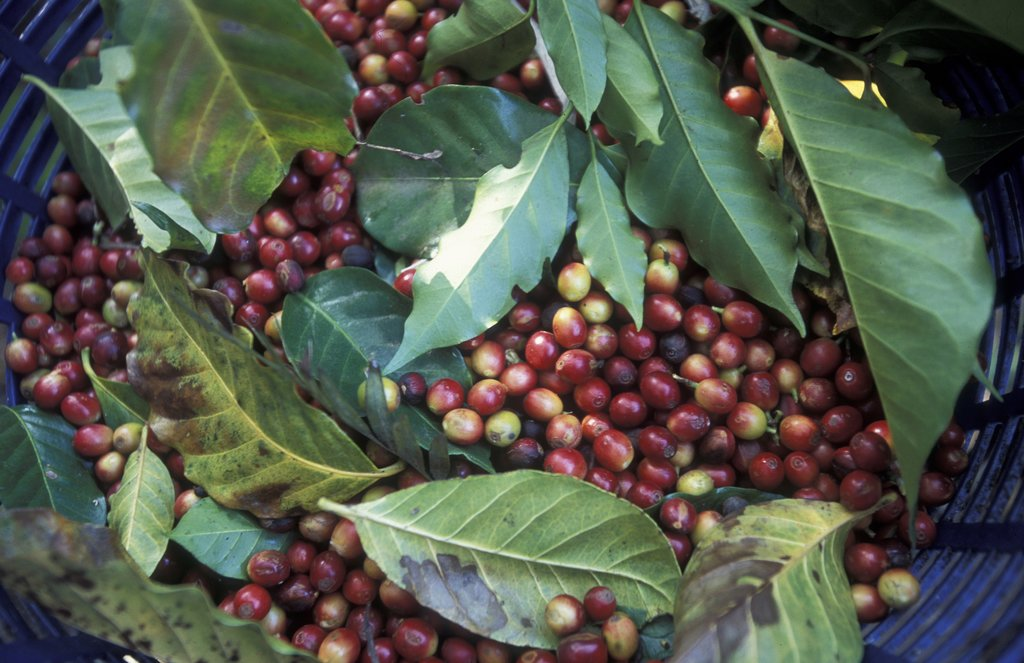 Learn about the coffee-growing process from a pro.