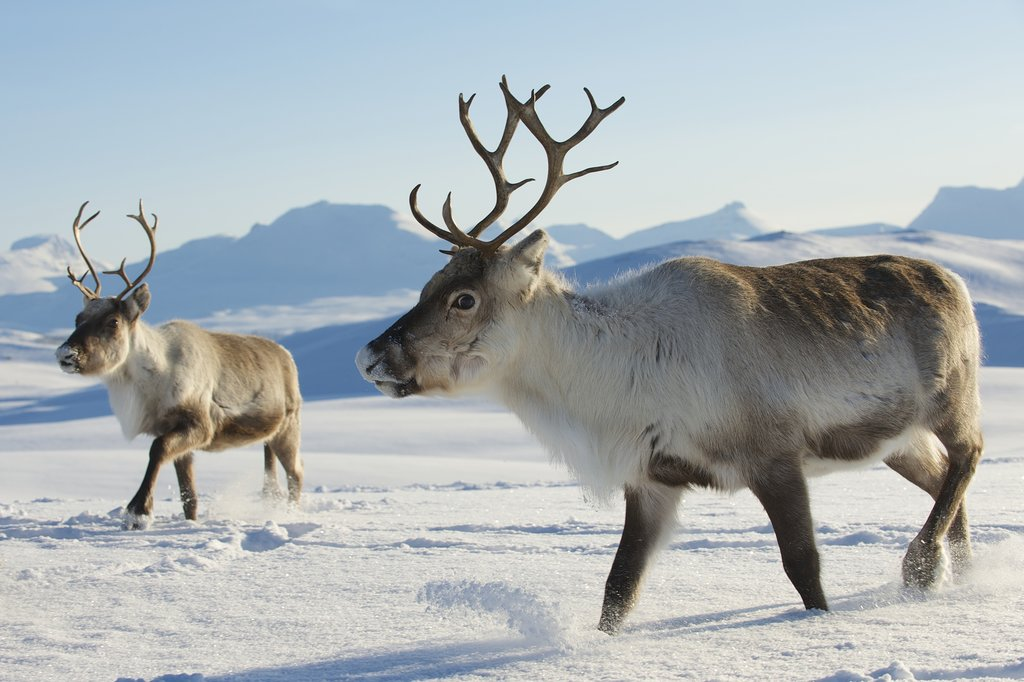 Look for reindeer herds on the drive.