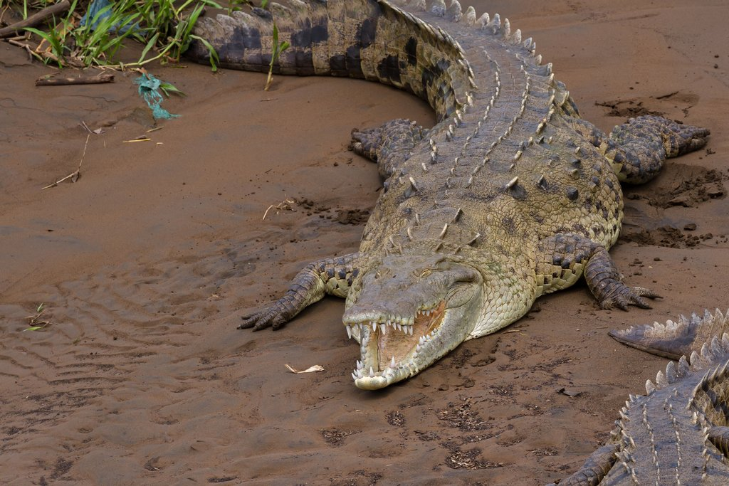 A crocodile on the Tarcoles River Bridge