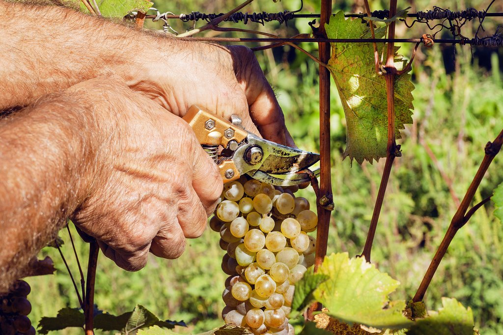 A harvest worker hand-cuts a bunch of grapes.