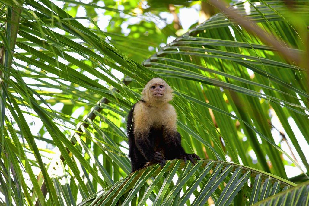 Capuchin in Manuel Antonio