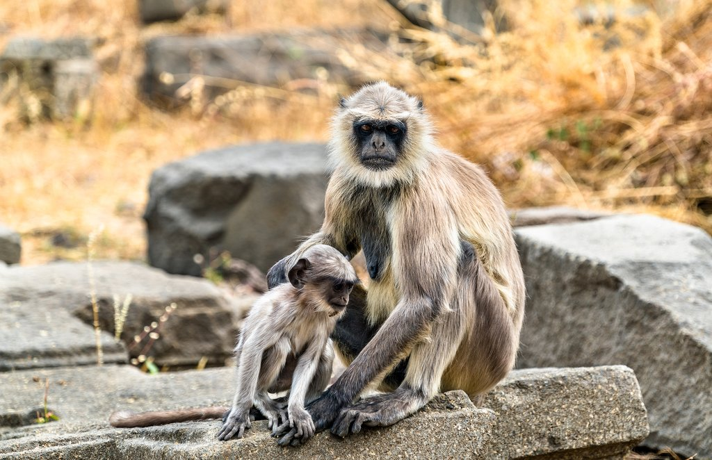 Gray langur monkeys, India