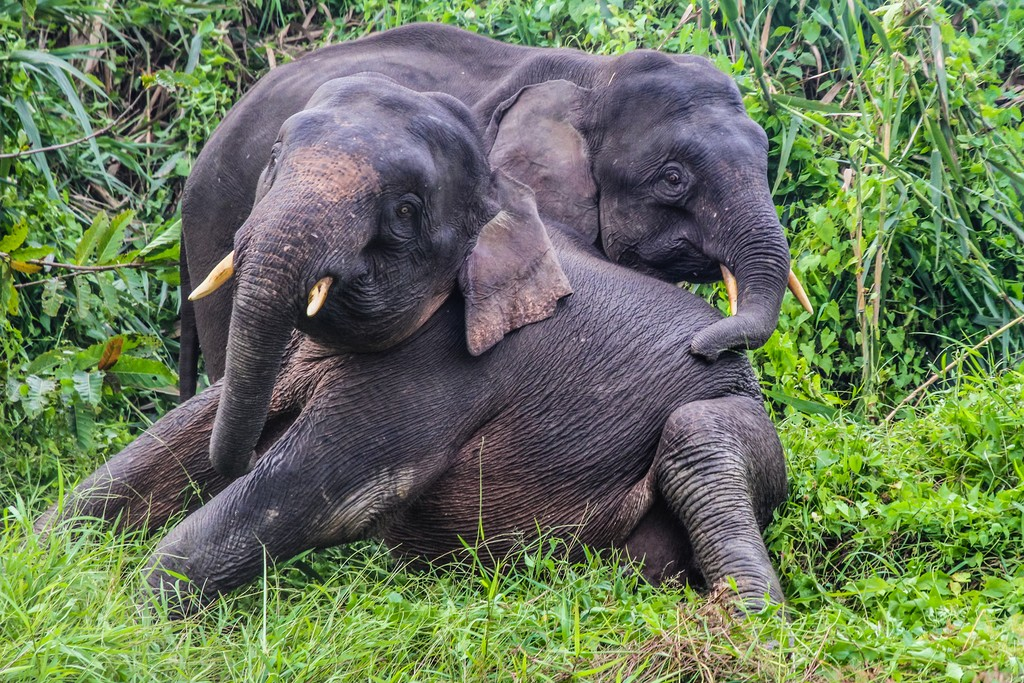 Young elephants spotted on a Kinabatangan safari
