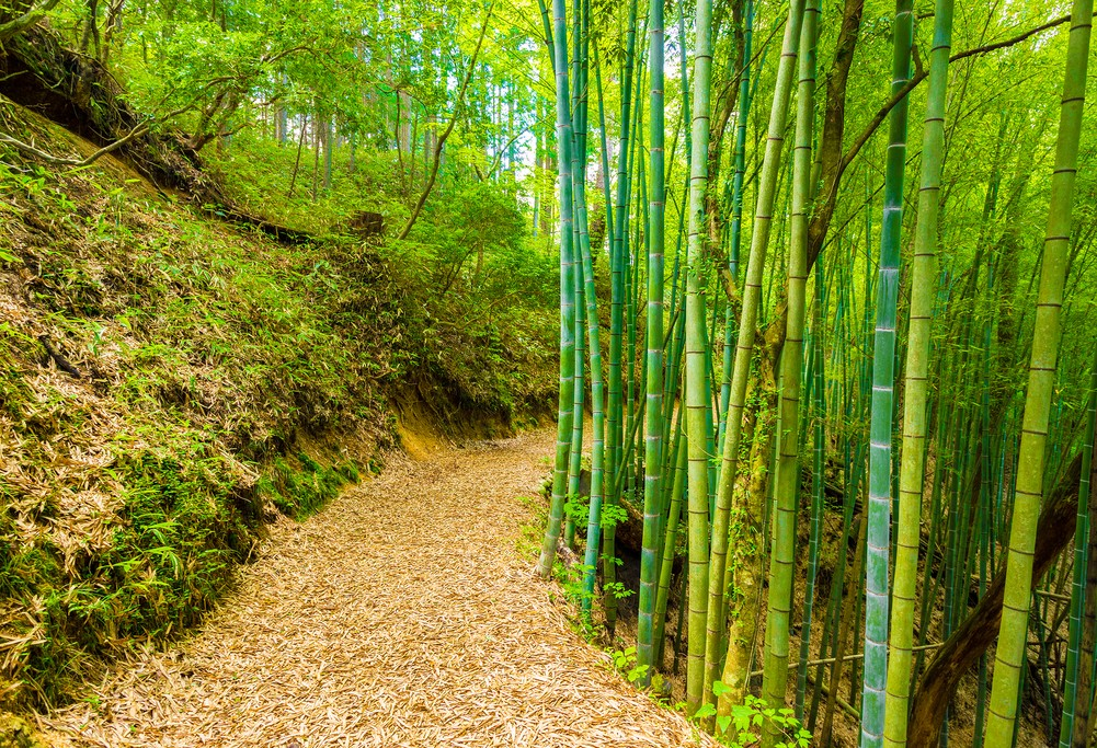 Nakasendo Trail bamboo forest