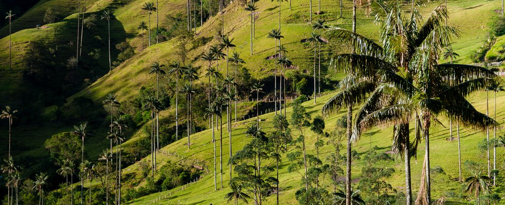 Wax palms in teh Cocora Valley
