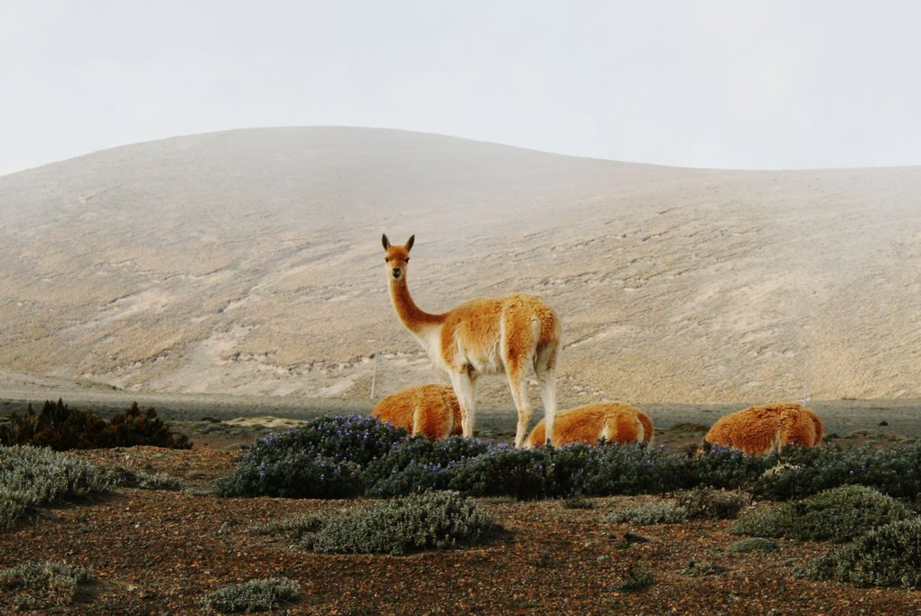 Related to the llama and the alpaca, the once-endangered vicuñas are making a comeback
