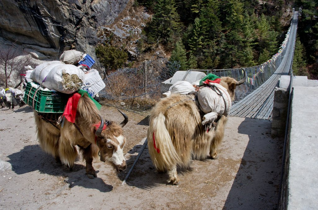 Yaks on a bridge in the Khumbu