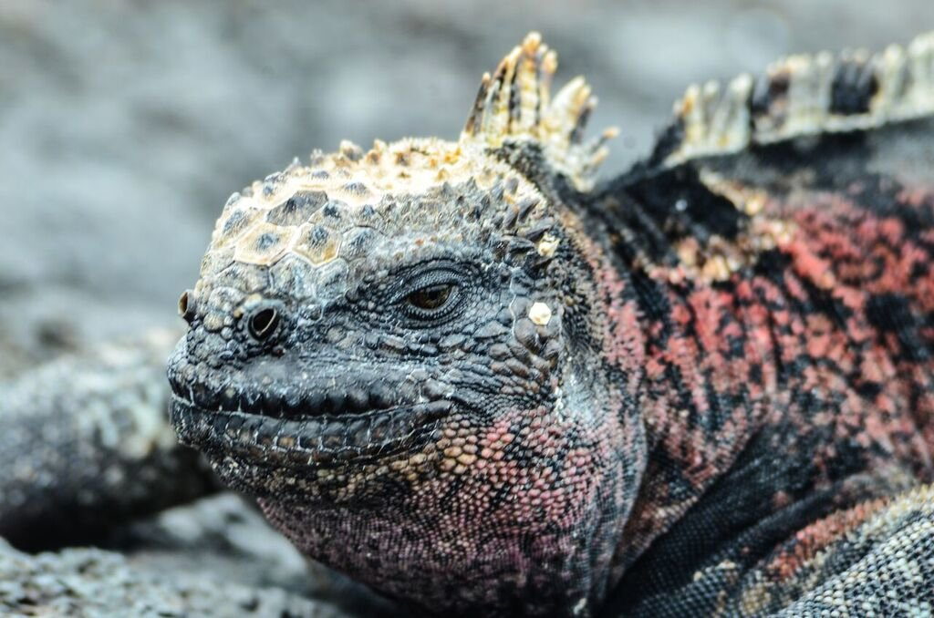 Fierce-looking marine iguanas are commonly spotted around the Galapagos.