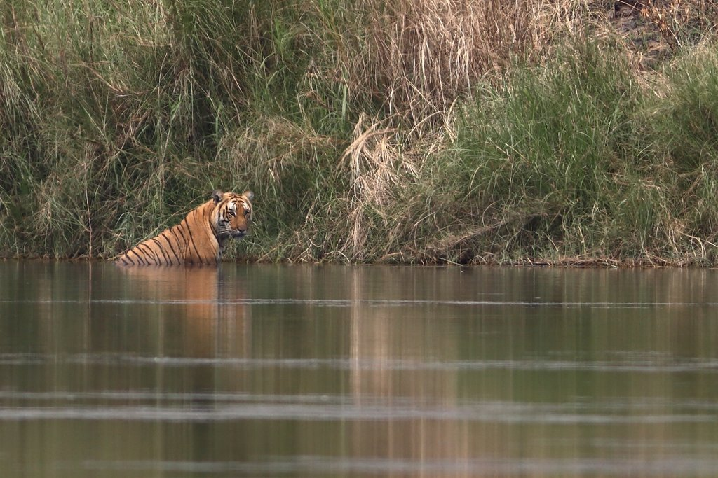 Tigers can sometimes be spotted in the Chitwan National Park