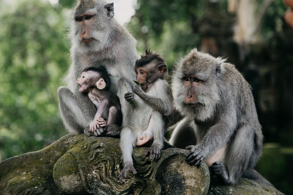 Monkeys in Ubud, Bali Indonesia