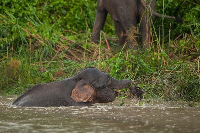 Elephants wading in the river
