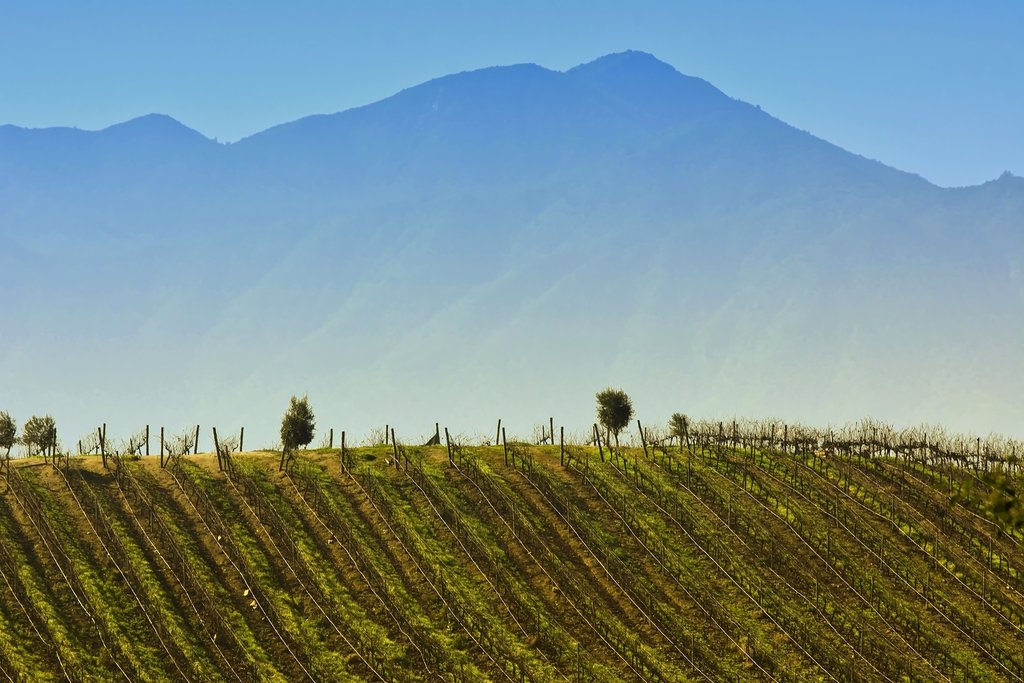 A vineyard hill in the Casablanca Valley