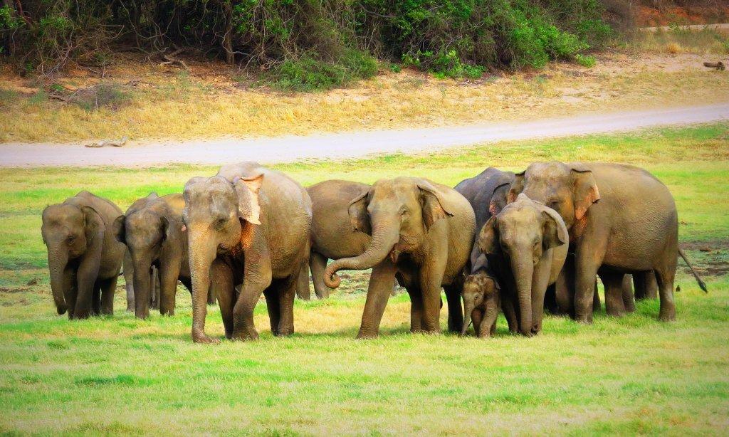 Asian elephants in Udawalawe
