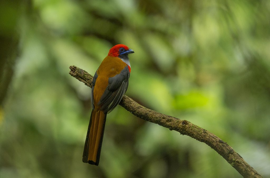 A Whitehead's Trogon perched on a branch in Kinabalu Park