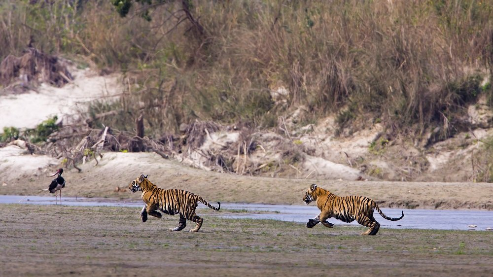 Adolescent tigers like to play by chasing each other, the birds around them, or anything else that moves