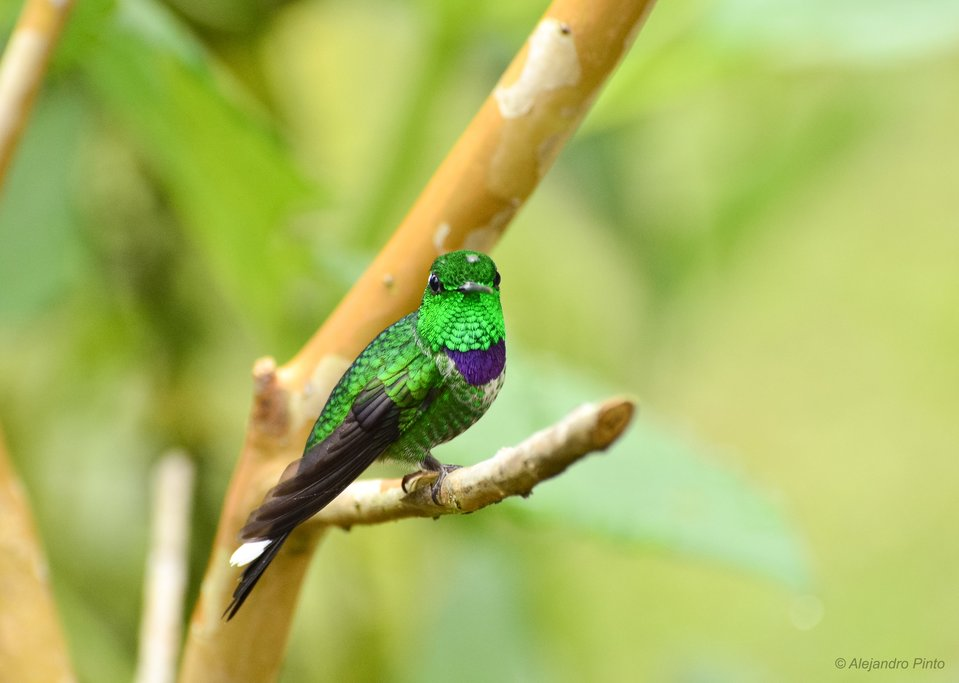 Purple-bibbed Whitetip.