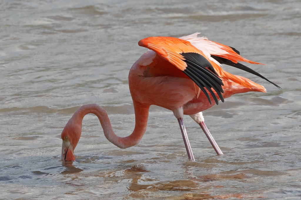 Flamingo in the Galapagos Islands