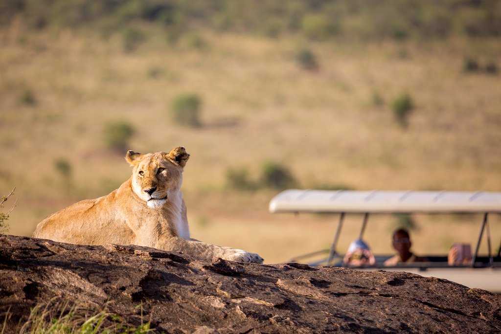 A lioness portrait with safari car in the Masai Mara national park, Kenya. Animal wildlife. Safari concept. Vacation in Africa
