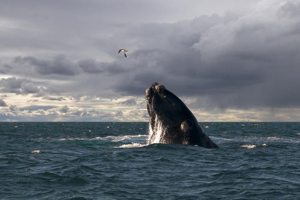 A whale breaching near Puerto Madryn