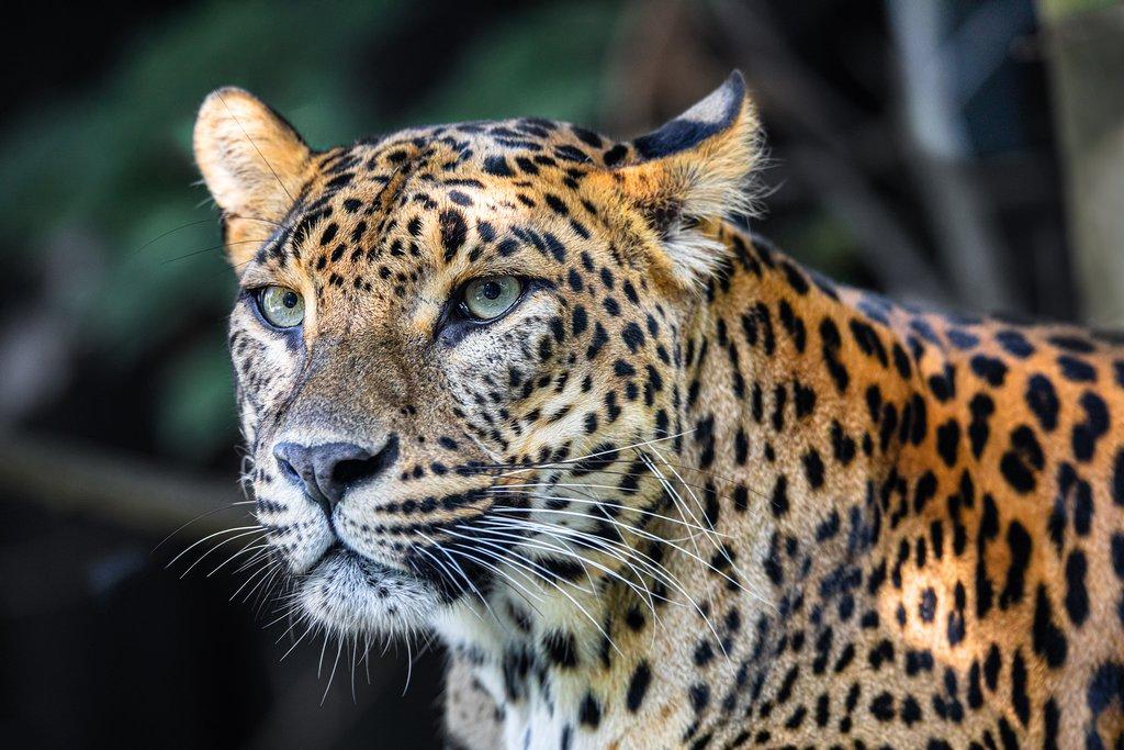 Majestic Sri Lankan leopards can be seen in Yala National Park