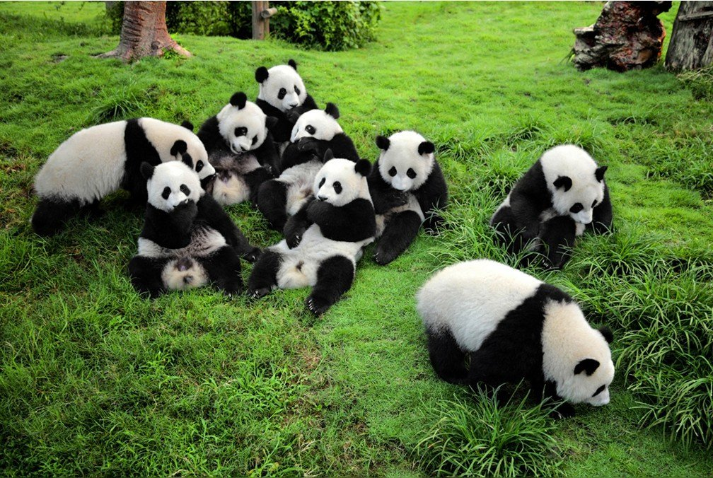 June is a great month to see the giant pandas in Chengdu