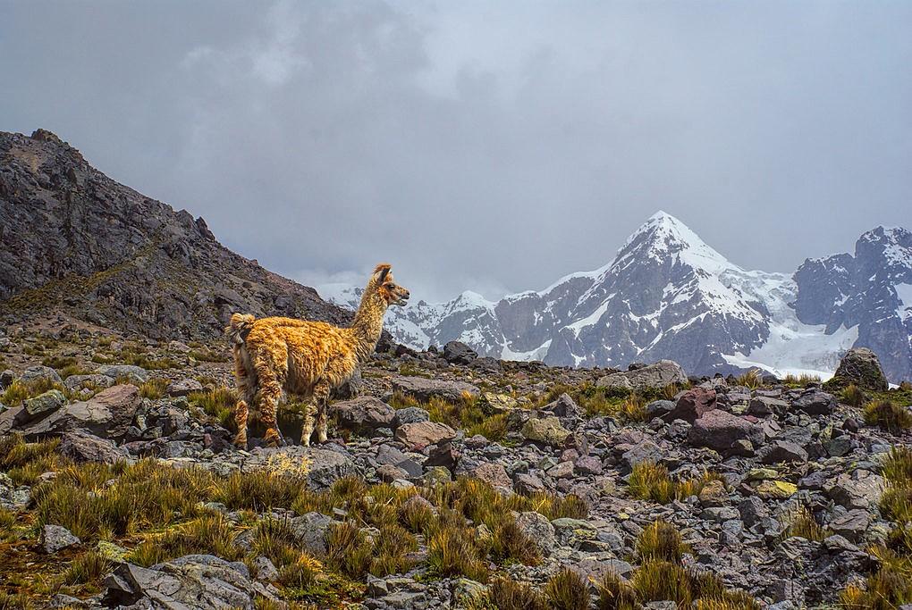 A lone llama in front of Ausangate peak