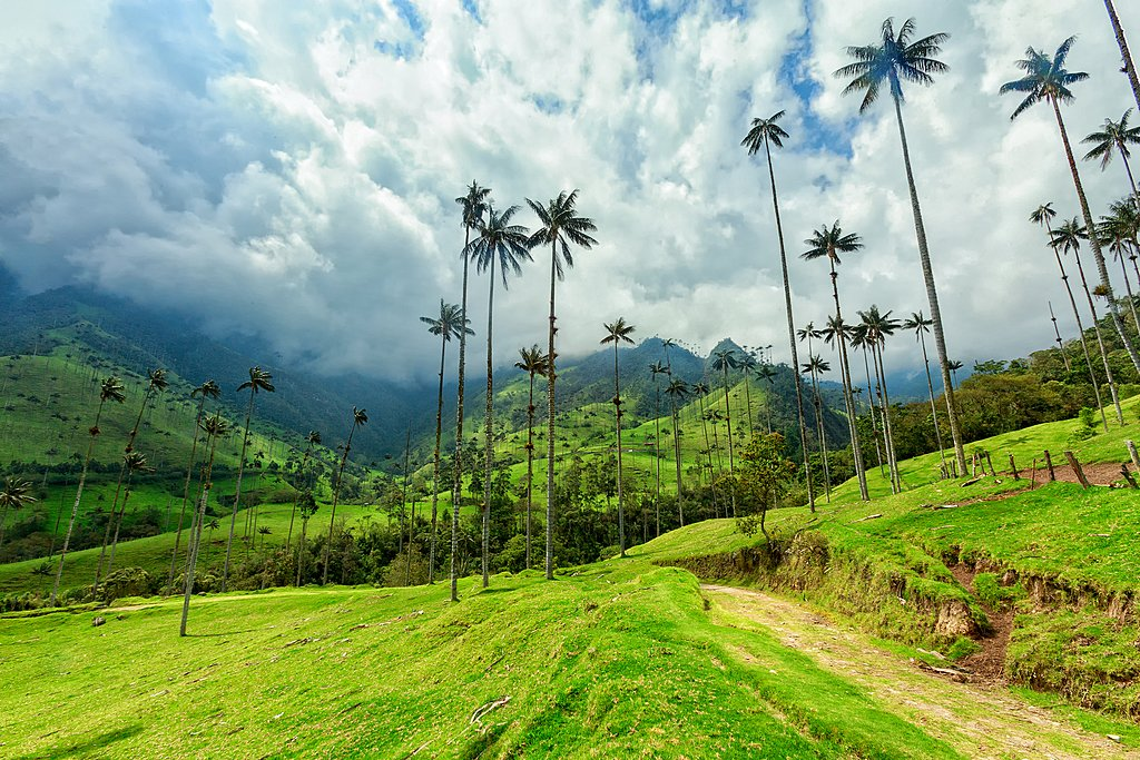 Iconic skinny wax palms in Colombia's coffee region