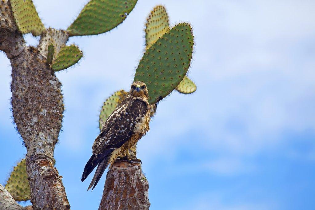Galapagos Hawk on Galapagos Islands
