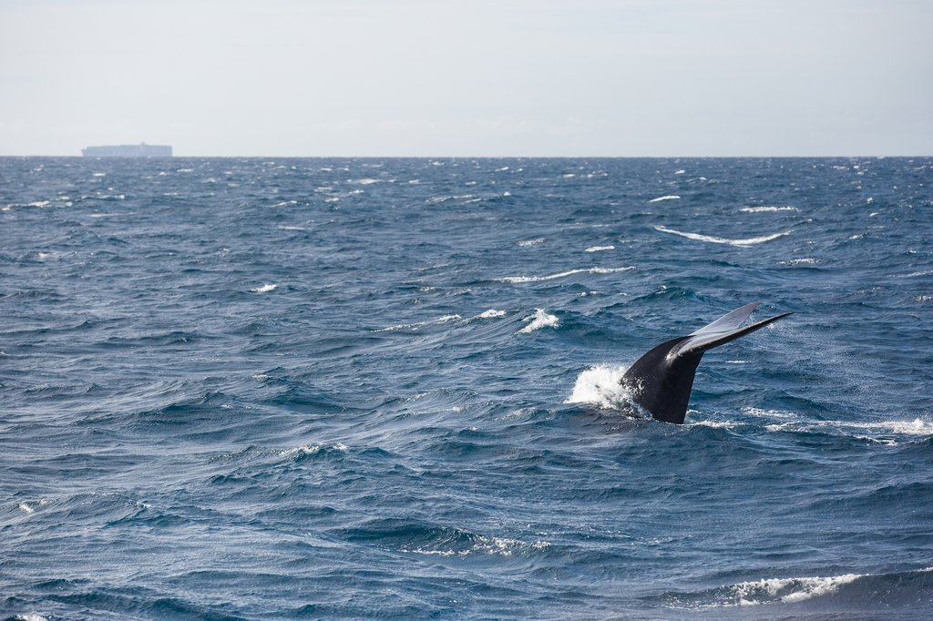June is a great time to see blue whales in eastern Sri Lanka