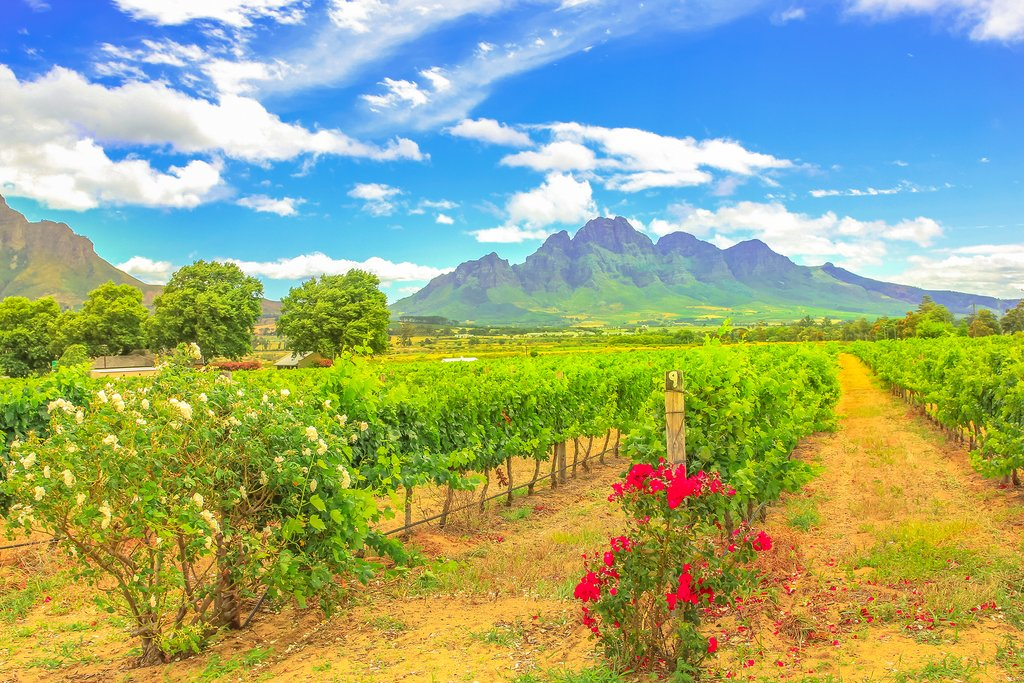 A vineyard in Stellenbosch near Cape Town