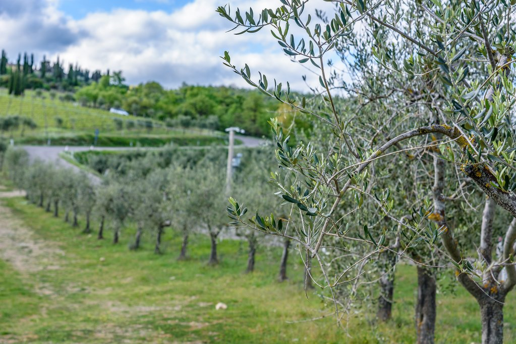 Rows of trees in an olive orchard