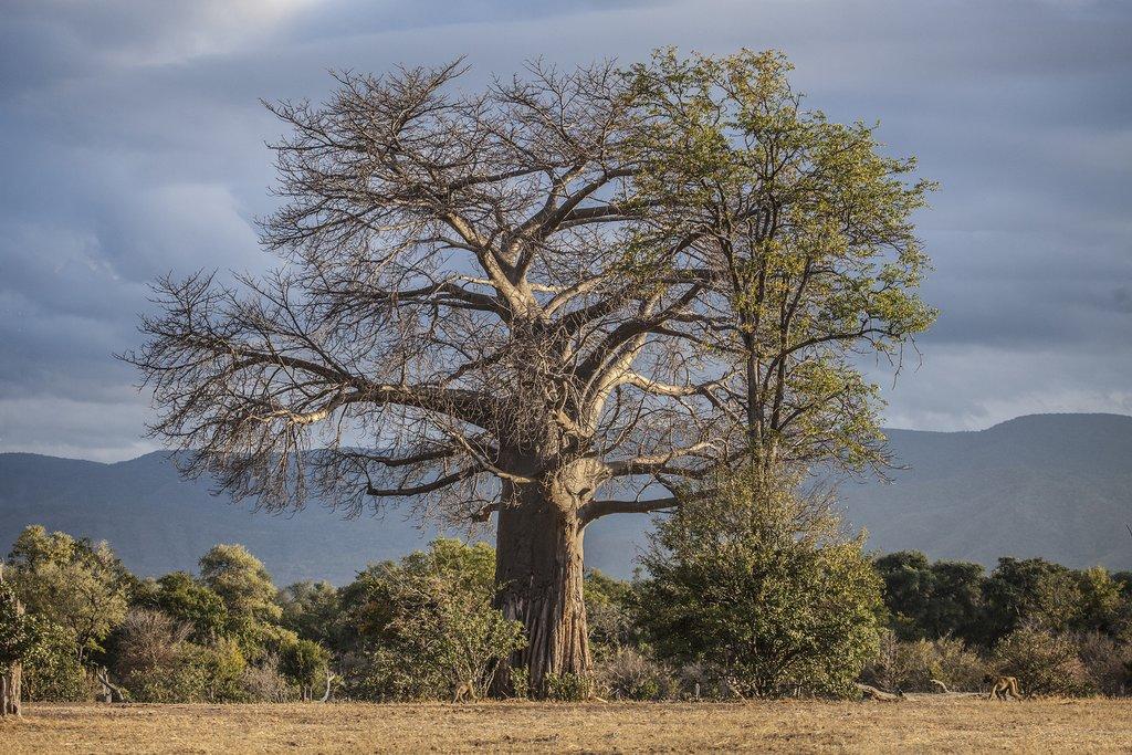 Baobab at Mana Pools