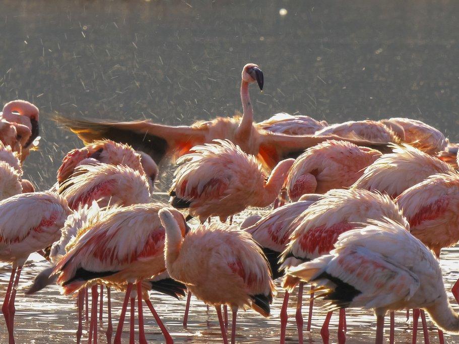 Herds of flamingoes are common on lakes Nakuru, Naivasha, and Bogoria