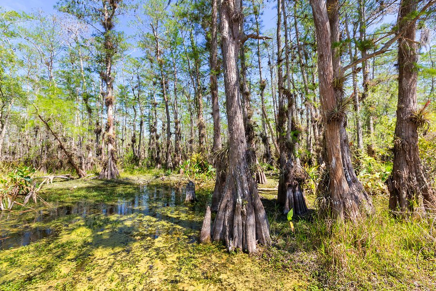 Cypress forest in the Everglades