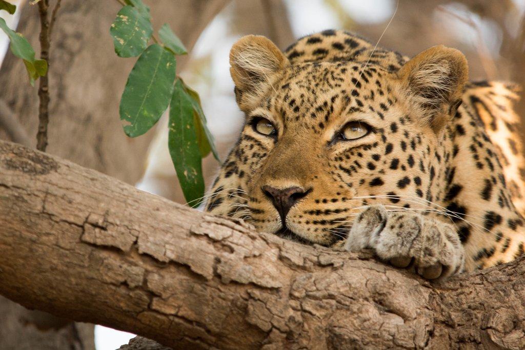 Leopard in Luangwa