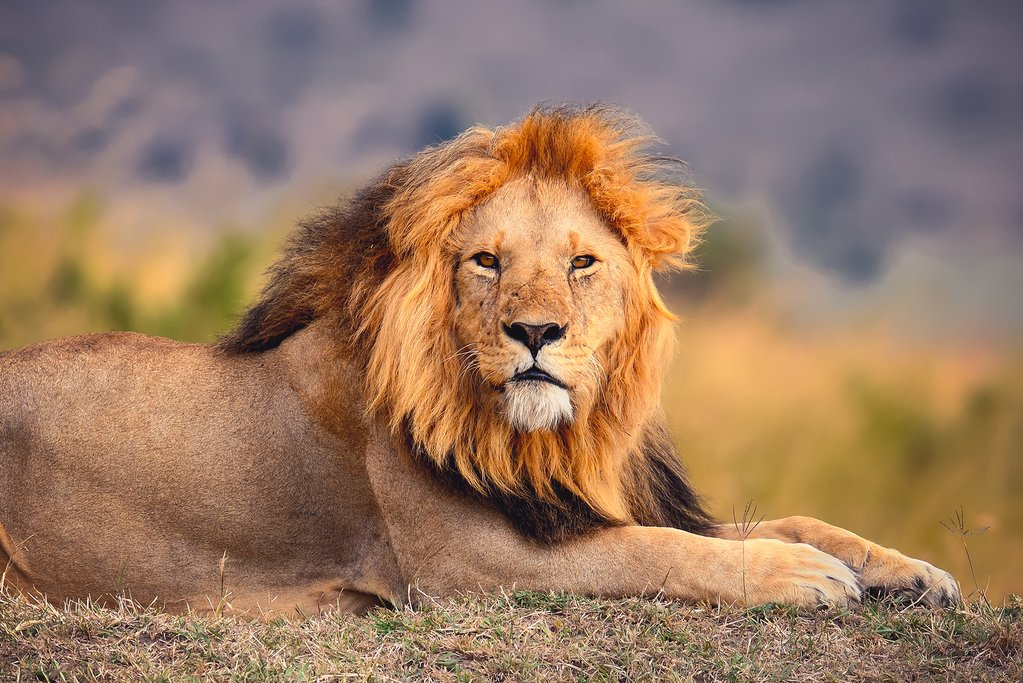 Beautiful lion in the tall grass of the Masai Mara in Kenya.