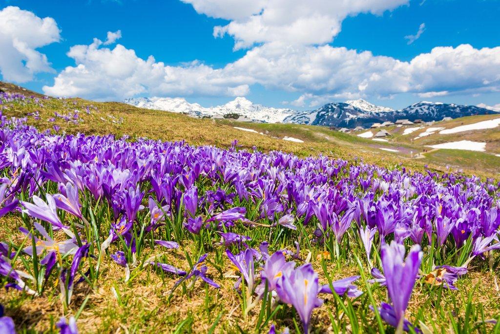 Alpine flowers bloom in Velika Planina