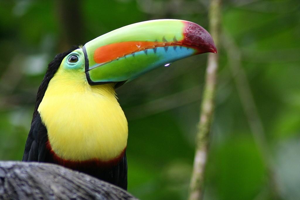 The remarkable keel-billed toucan is among Costa Rica's 900 species of birds